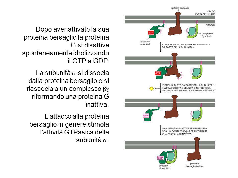 Dopo aver attivato la sua proteina bersaglio la proteina G si disattiva spontaneamente idrolizzando il GTP a GDP. La subunità si dissocia dalla protei