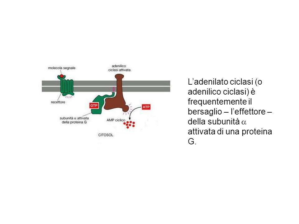 Ladenilato ciclasi (o adenilico ciclasi) è frequentemente il bersaglio – leffettore – della subunità attivata di una proteina G.