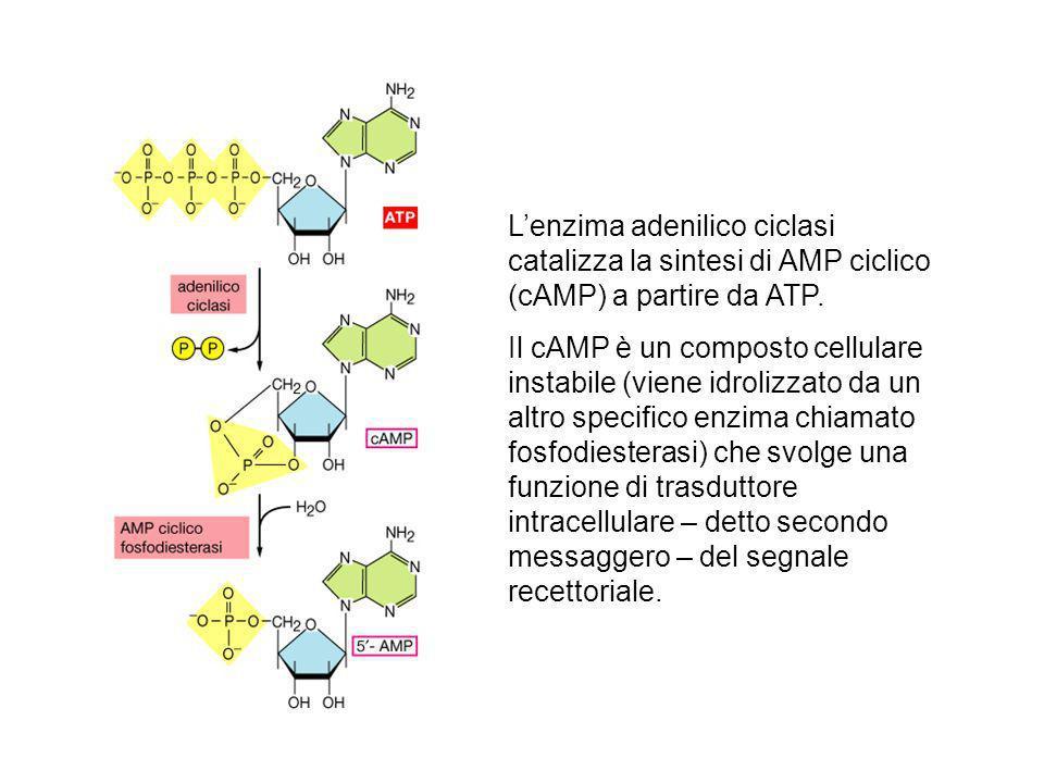 Lenzima adenilico ciclasi catalizza la sintesi di AMP ciclico (cAMP) a partire da ATP. Il cAMP è un composto cellulare instabile (viene idrolizzato da
