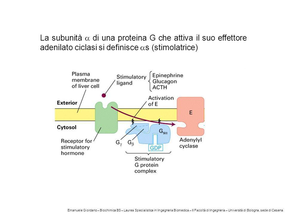 La subunità di una proteina G che attiva il suo effettore adenilato ciclasi si definisce s (stimolatrice) Emanuele Giordano – Biochimica BS – Laurea S