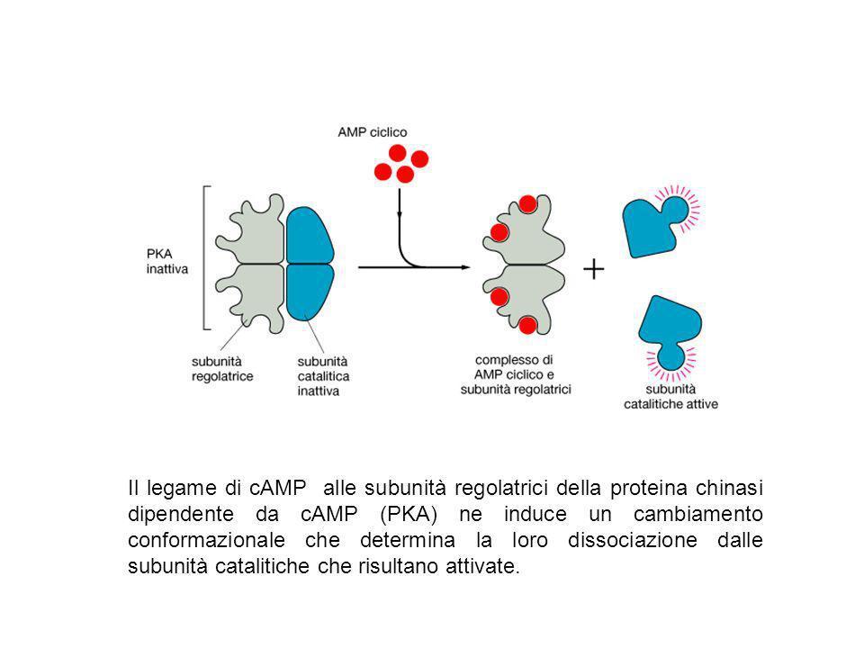 Il legame di cAMP alle subunità regolatrici della proteina chinasi dipendente da cAMP (PKA) ne induce un cambiamento conformazionale che determina la
