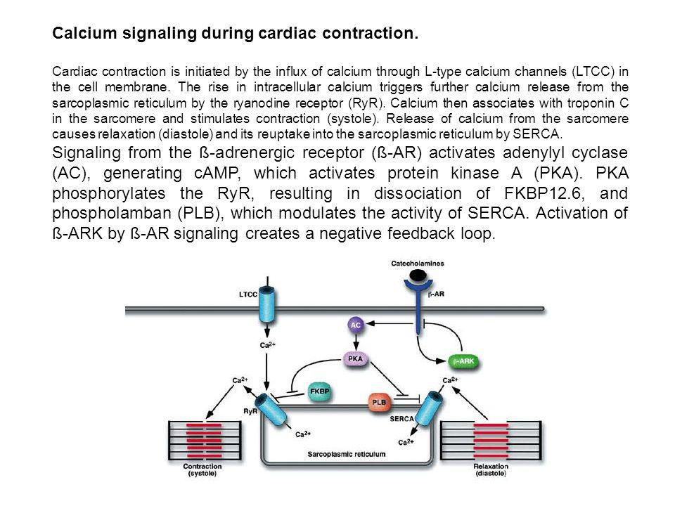 Calcium signaling during cardiac contraction. Cardiac contraction is initiated by the influx of calcium through L-type calcium channels (LTCC) in the