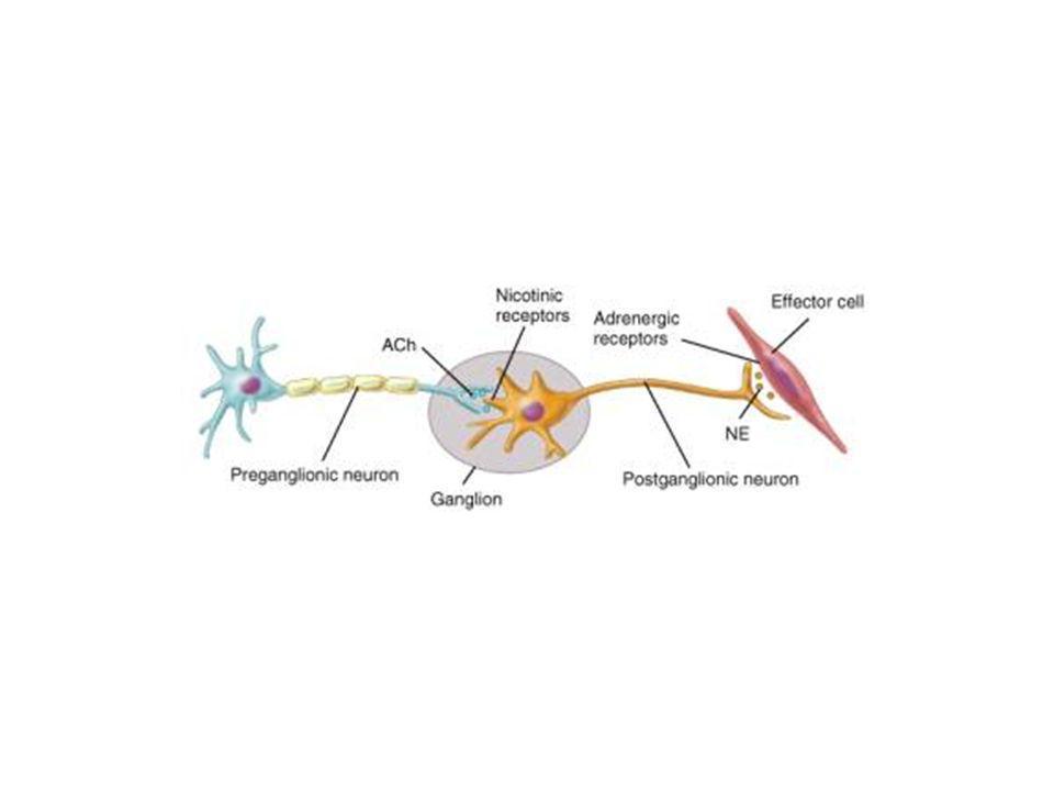 Lattivazione delladenilico ciclasi e laumento della concentrazione intracellulare di cAMP attivano la proteina chinasi dipendente da cAMP (PKA) nel citosol.