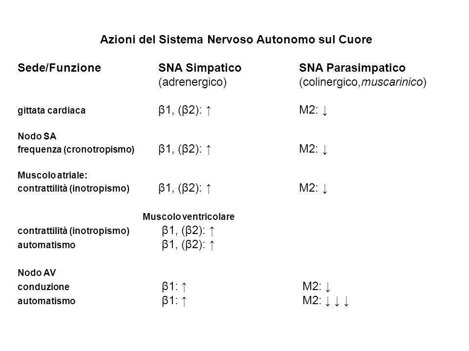 Azioni del Sistema Nervoso Autonomo sul Cuore Sede/FunzioneSNA Simpatico SNA Parasimpatico (adrenergico) (colinergico,muscarinico) gittata cardiaca β1