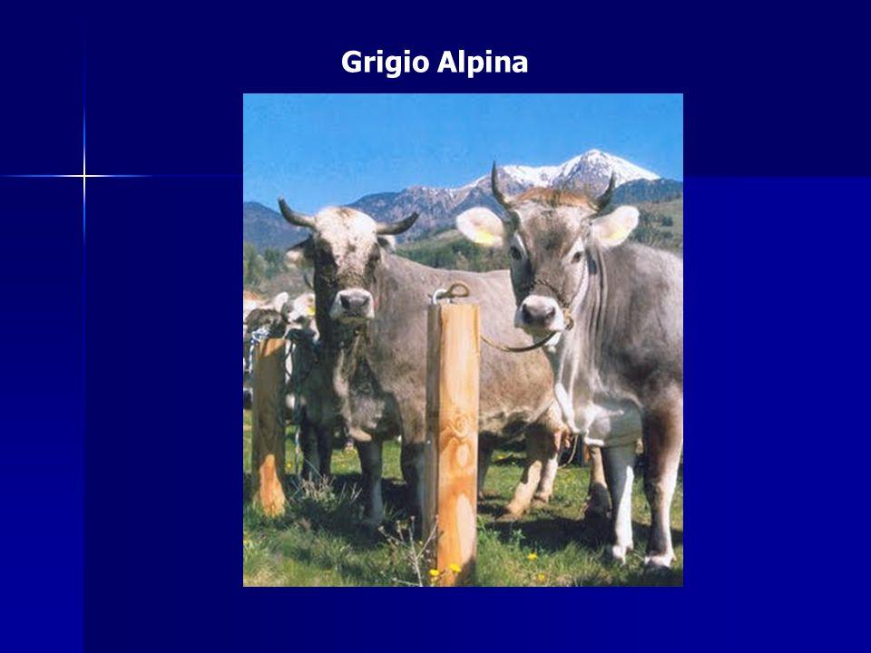 Origine e zona di diffusione Appartenente al gruppo delle grigie dell arco alpino.