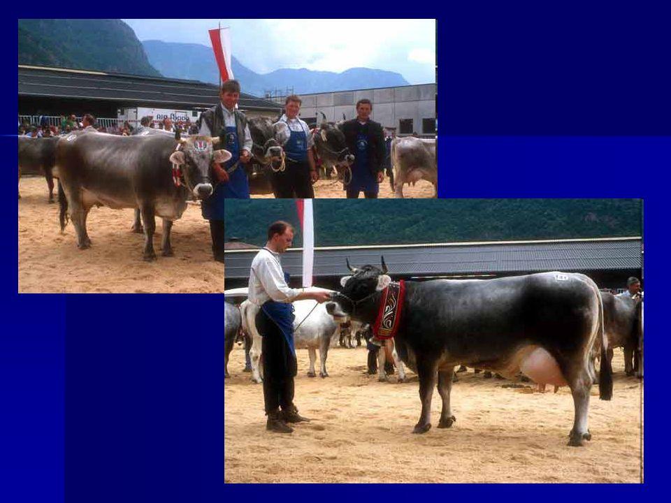 CARNE La buona produzione di carne nella razza valdostana costituisce, oltre al latte, il naturale complemento di reddito indispensabile all allevatore di montagna.