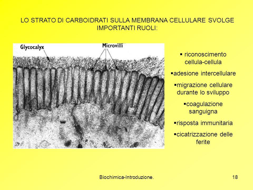 Biochimica-Introduzione.18 LO STRATO DI CARBOIDRATI SULLA MEMBRANA CELLULARE SVOLGE IMPORTANTI RUOLI: riconoscimento cellula-cellula adesione intercel