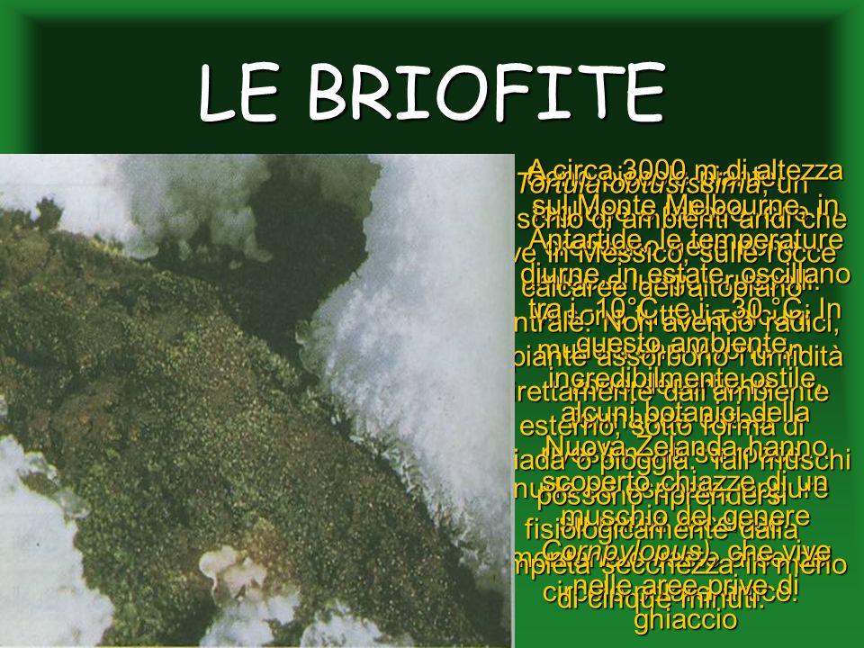 LE BRIOFITE Sono piccole piante, fogliose o tallose, che crescono nelle zone umide e lungo i ruscelli. Vi sono tuttavia alcuni muschi che vivono in zo