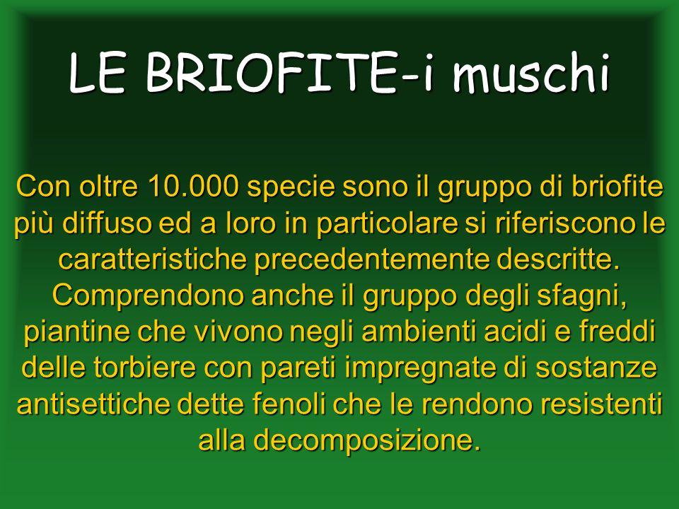 LE BRIOFITE-i muschi Con oltre 10.000 specie sono il gruppo di briofite più diffuso ed a loro in particolare si riferiscono le caratteristiche precede