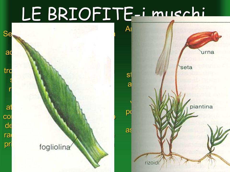 LE BRIOFITE-i muschi Anche le foglie non sono delle vere foglie infatti non posseggono tessuti a palizzata, né tessuto lacunoso, e nemmeno la struttur