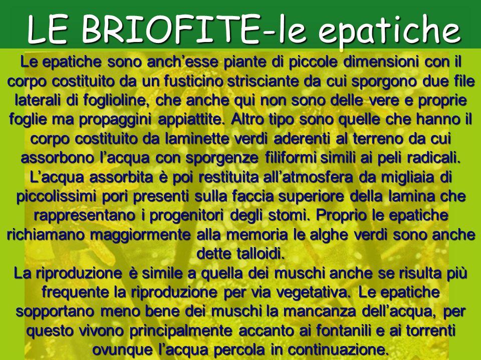 LE BRIOFITE-le epatiche Le epatiche sono anchesse piante di piccole dimensioni con il corpo costituito da un fusticino strisciante da cui sporgono due
