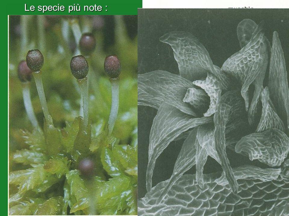 Le specie più note : Le specie più note :Sfagno (Sphagnum cymbifolium) (Sphagnum cymbifolium) Tipici muschi dei luoghi umidi che crescono in particola