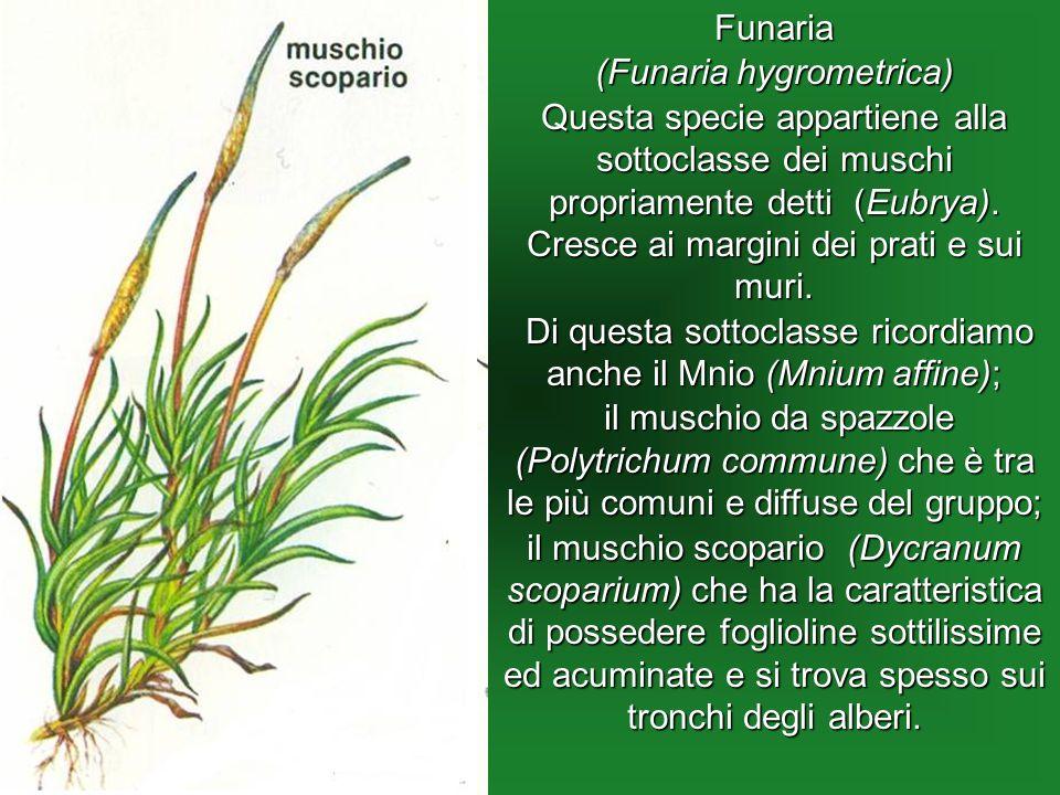 Funaria (Funaria hygrometrica) Questa specie appartiene alla sottoclasse dei muschi propriamente detti (Eubrya). Cresce ai margini dei prati e sui mur