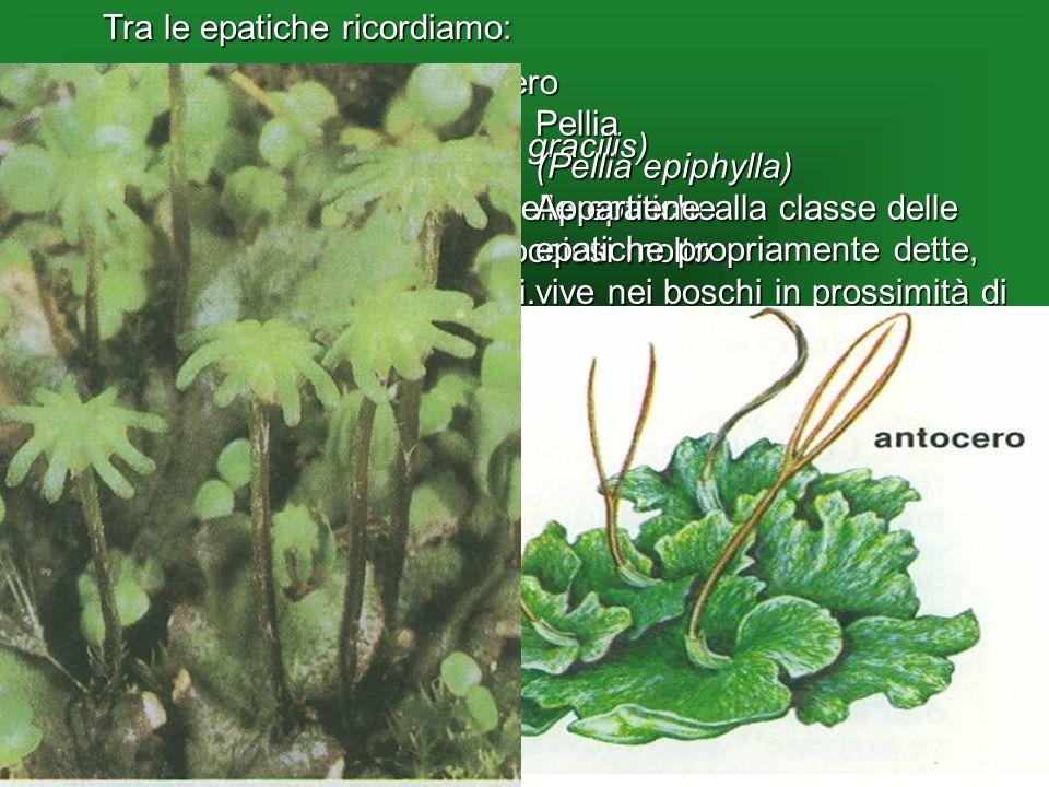 Antocero (Anthoceros gracilis) La più comune delle epatiche vive su terreni rocciosi molto umidi. Pellia (Pellia epiphylla) Appartiene alla classe del
