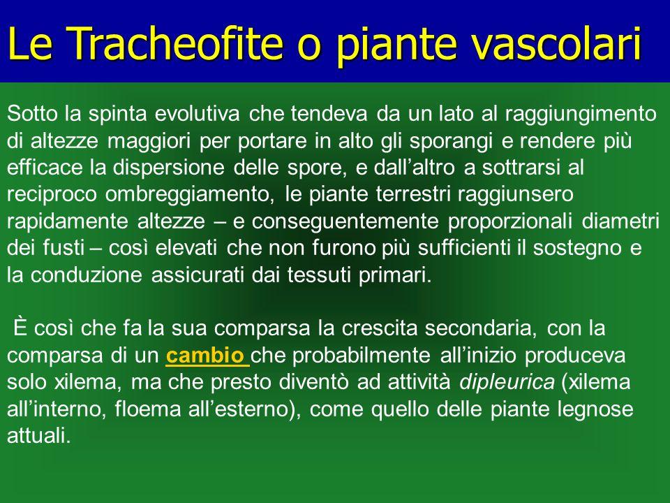 Le Tracheofite o piante vascolari Sotto la spinta evolutiva che tendeva da un lato al raggiungimento di altezze maggiori per portare in alto gli spora