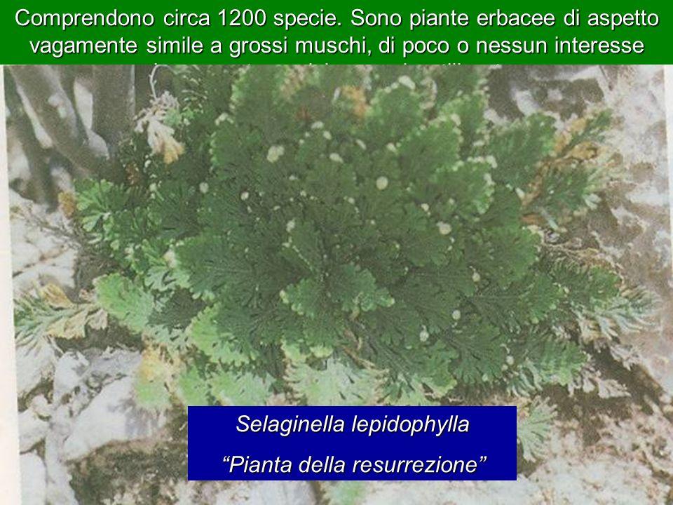 Le pteridofite o crittogame vascolari -Le psilotofite (Psilotophyta), -Le riniofite (Rhyniophyta), Attualmente delle pteridofite fanno parte le seguen