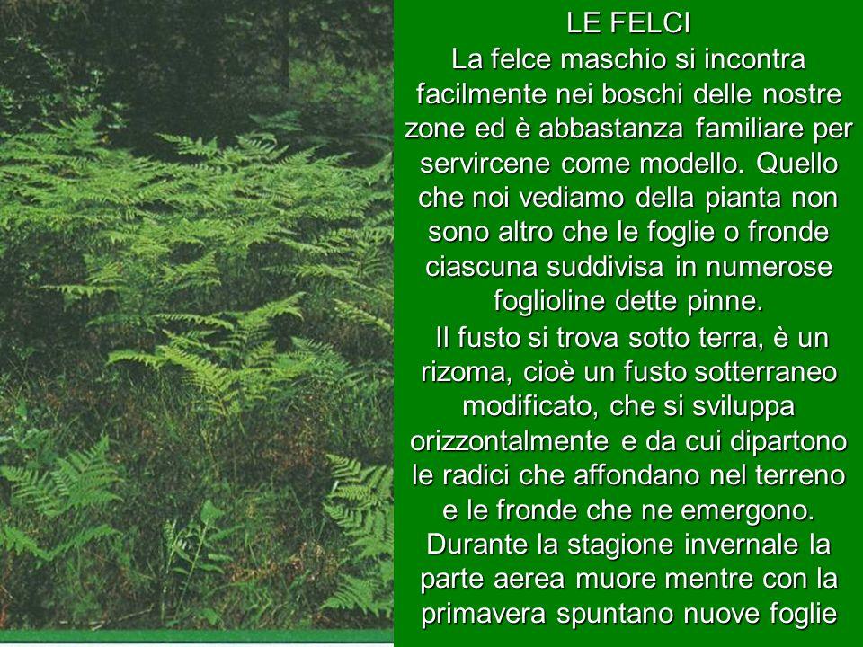 LE FELCI La felce maschio si incontra facilmente nei boschi delle nostre zone ed è abbastanza familiare per servircene come modello. Quello che noi ve