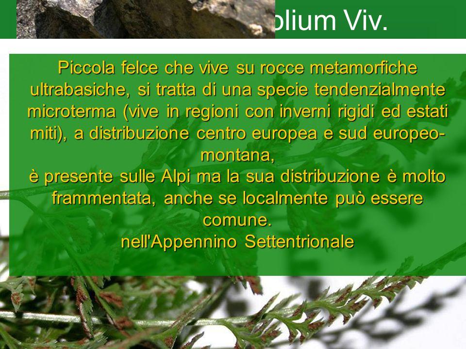 Asplenium cuneifolium Viv. Piccola felce che vive su rocce metamorfiche ultrabasiche, si tratta di una specie tendenzialmente microterma (vive in regi