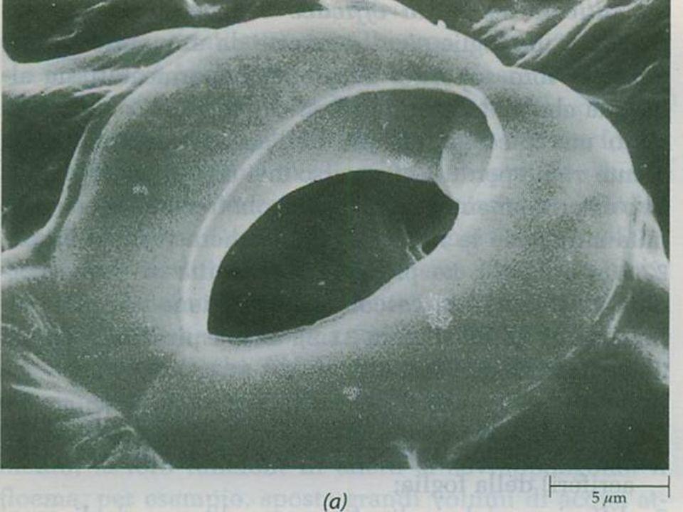 Naturalmente questi tessuti non dovevano impedire gli scambi gassosi con lesterno necessari al metabolismo della pianta. Ecco che quindi la pressione