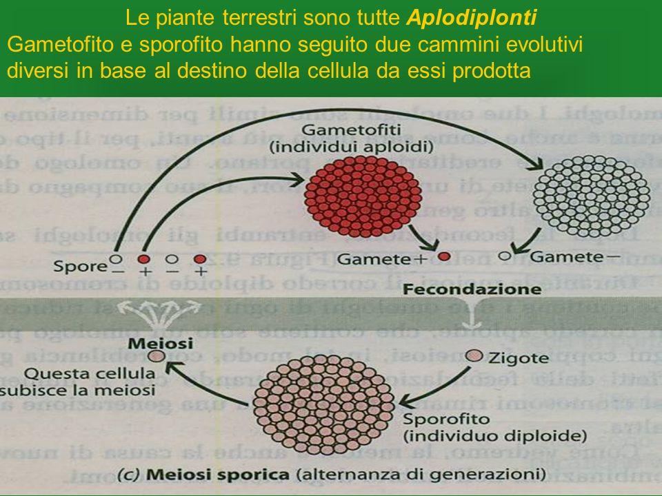 Le piante terrestri sono tutte Aplodiplonti Gametofito e sporofito hanno seguito due cammini evolutivi diversi in base al destino della cellula da ess