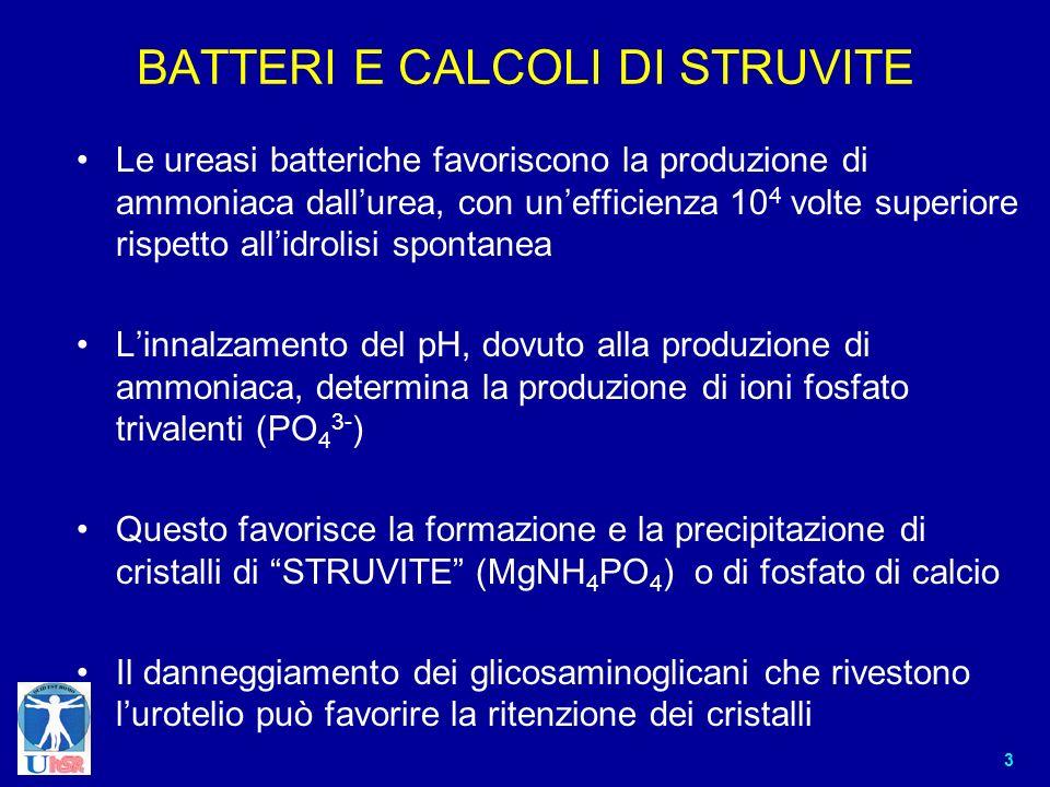 3 BATTERI E CALCOLI DI STRUVITE Le ureasi batteriche favoriscono la produzione di ammoniaca dallurea, con unefficienza 10 4 volte superiore rispetto a