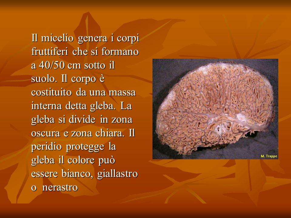 Il micelio genera i corpi fruttiferi che si formano a 40/50 cm sotto il suolo. Il corpo è costituito da una massa interna detta gleba. La gleba si div