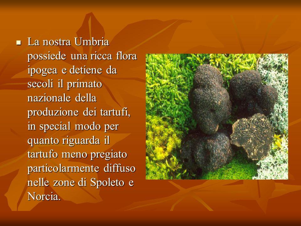 La nostra Umbria possiede una ricca flora ipogea e detiene da secoli il primato nazionale della produzione dei tartufi, in special modo per quanto rig