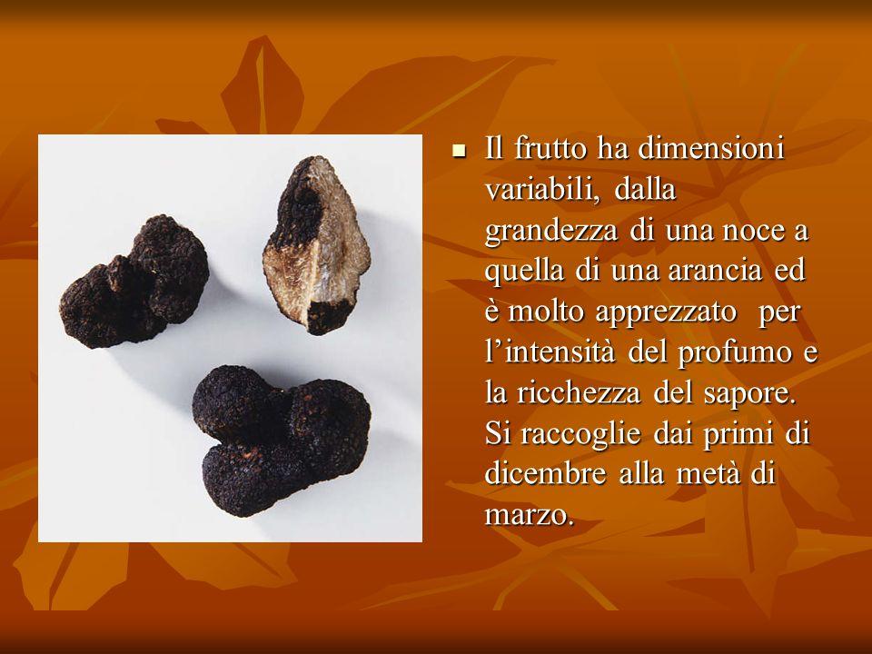 Il frutto ha dimensioni variabili, dalla grandezza di una noce a quella di una arancia ed è molto apprezzato per lintensità del profumo e la ricchezza