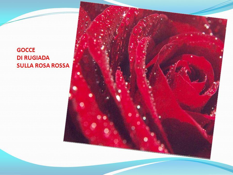 GOCCE DI RUGIADA SULLA ROSA ROSSA