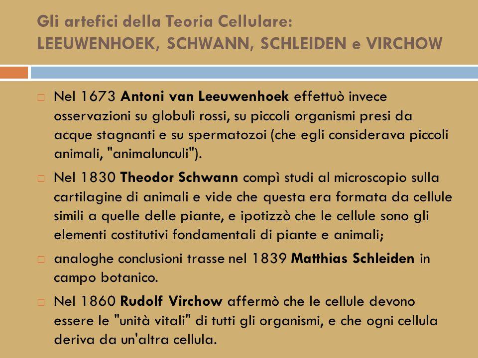 Gli artefici della Teoria Cellulare: Robert HOOKE Le cellule furono osservate per la prima volta nel 1665 da Robert Hooke, che studiò con un microscopio rudimentale sottili fettine di sughero e vide che esse erano formate da elementi di forma regolare.