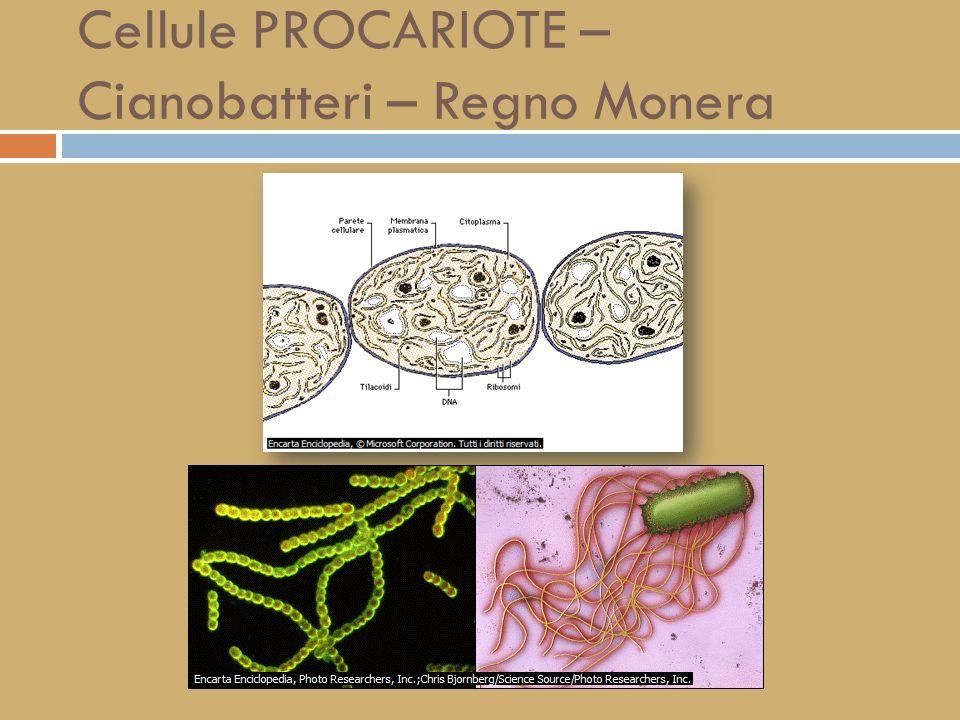 LA TEORIA CELLULARE L insieme degli studi al microscopio e le osservazioni di numerosi ricercatori permisero di arrivare alla moderna definizione della cosiddetta teoria cellulare, secondo la quale: 1) le cellule costituiscono le unità fondamentali di ciascun organismo; 2) tutti i viventi sono formati da una o più cellule; 3) tutte le cellule derivano da altre cellule.