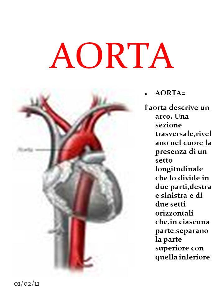 01/02/11 AORTA AORTA= l'aorta descrive un arco. Una sezione trasversale,rivel ano nel cuore la presenza di un setto longitudinale che lo divide in due