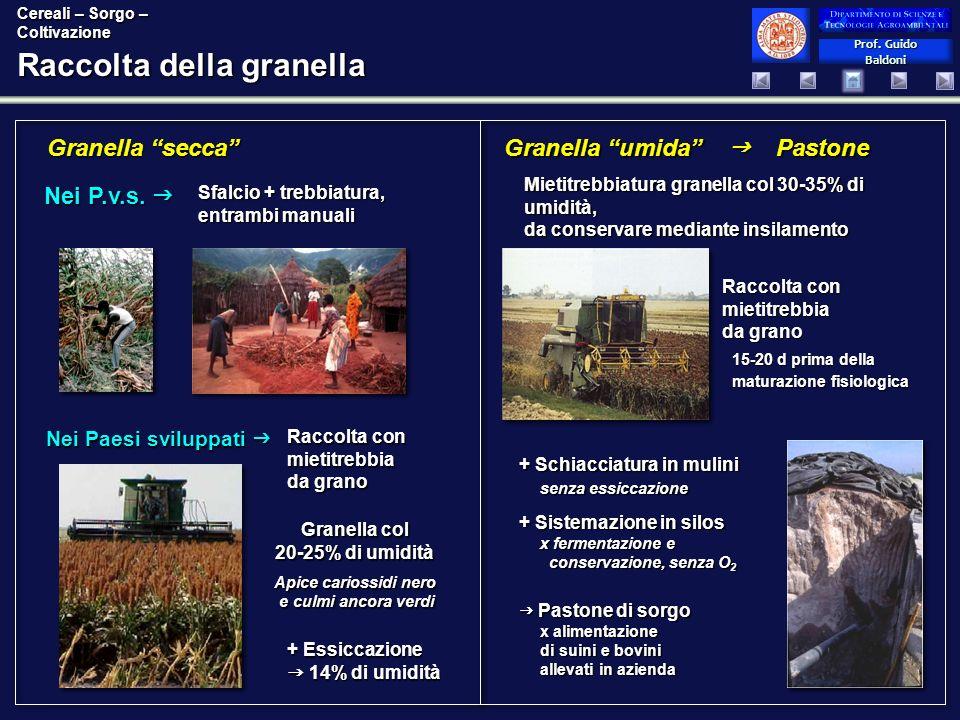 Prof. Guido Baldoni Prof. Guido Baldoni Raccolta della granella Granella secca Granella umida Pastone Mietitrebbiatura granella col 30-35% di umidità,