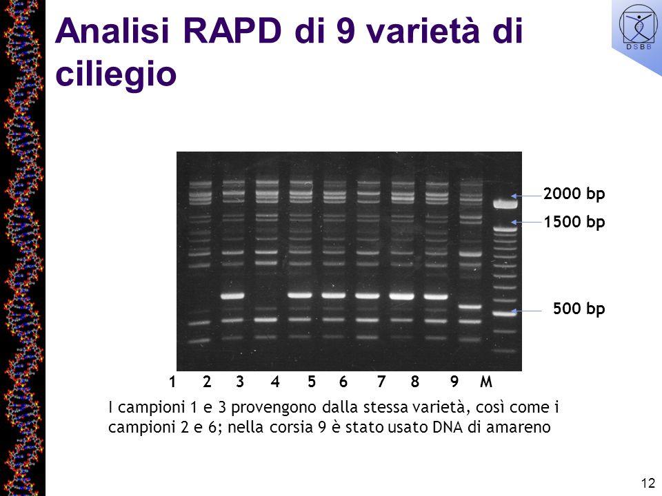 12 Analisi RAPD di 9 varietà di ciliegio 2000 bp 1500 bp 500 bp I campioni 1 e 3 provengono dalla stessa varietà, così come i campioni 2 e 6; nella co
