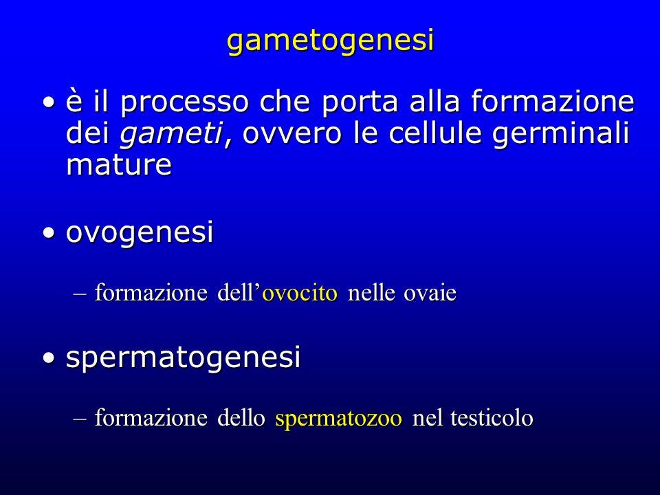 gametogenesi è il processo che porta alla formazione dei gameti, ovvero le cellule germinali matureè il processo che porta alla formazione dei gameti,