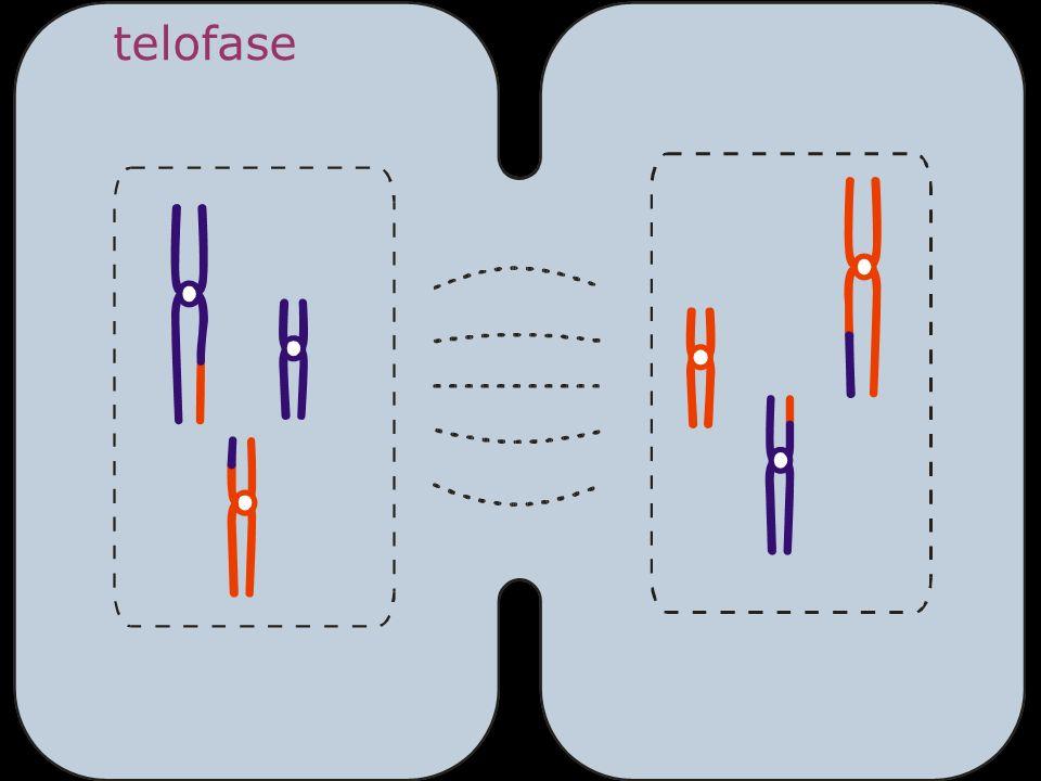 telofase