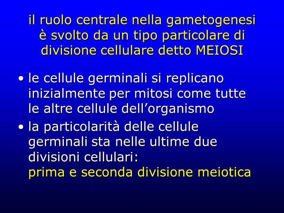 il ruolo centrale nella gametogenesi è svolto da un tipo particolare di divisione cellulare detto MEIOSI le cellule germinali si replicano inizialmente per mitosi come tutte le altre cellule dellorganismole cellule germinali si replicano inizialmente per mitosi come tutte le altre cellule dellorganismo la particolarità delle cellule germinali sta nelle ultime due divisioni cellulari: prima e seconda divisione meioticala particolarità delle cellule germinali sta nelle ultime due divisioni cellulari: prima e seconda divisione meiotica