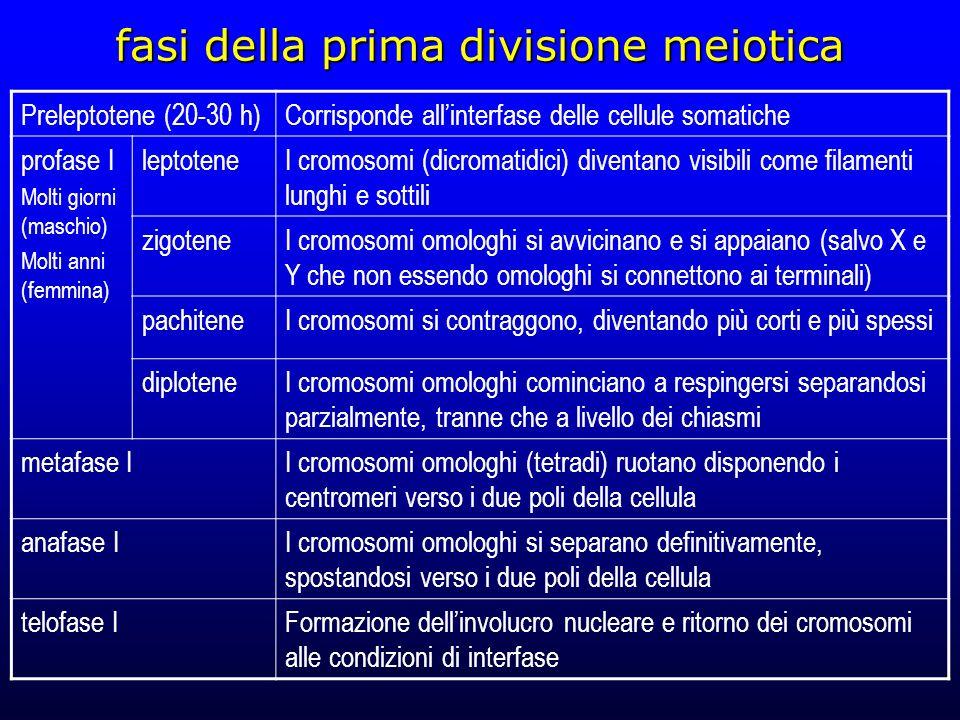 fasi della prima divisione meiotica Preleptotene (20-30 h)Corrisponde allinterfase delle cellule somatiche profase I Molti giorni (maschio) Molti anni (femmina) leptoteneI cromosomi (dicromatidici) diventano visibili come filamenti lunghi e sottili zigoteneI cromosomi omologhi si avvicinano e si appaiano (salvo X e Y che non essendo omologhi si connettono ai terminali) pachiteneI cromosomi si contraggono, diventando più corti e più spessi diploteneI cromosomi omologhi cominciano a respingersi separandosi parzialmente, tranne che a livello dei chiasmi metafase II cromosomi omologhi (tetradi) ruotano disponendo i centromeri verso i due poli della cellula anafase II cromosomi omologhi si separano definitivamente, spostandosi verso i due poli della cellula telofase IFormazione dellinvolucro nucleare e ritorno dei cromosomi alle condizioni di interfase
