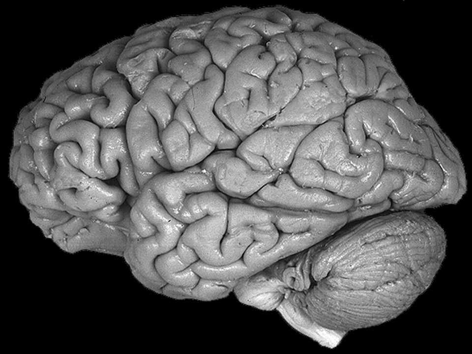 Corteccia cerebrale di mammifero al microscopio metodo di colorazione istologica di Nissl