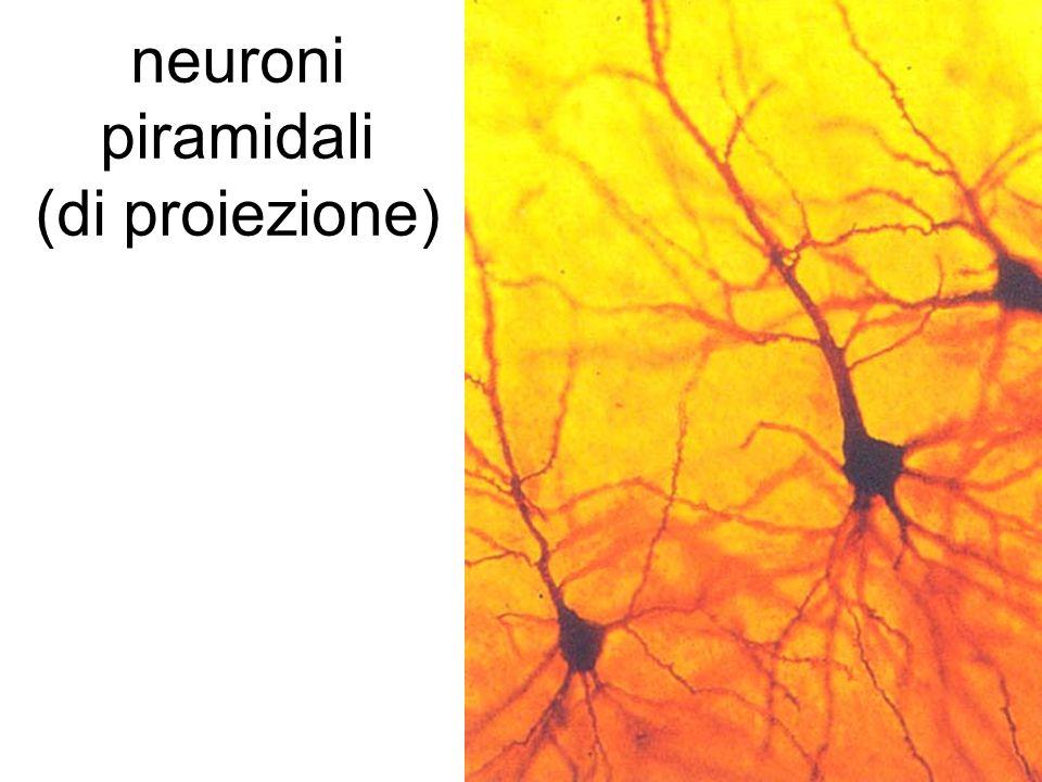 neuroni piramidali (di proiezione)