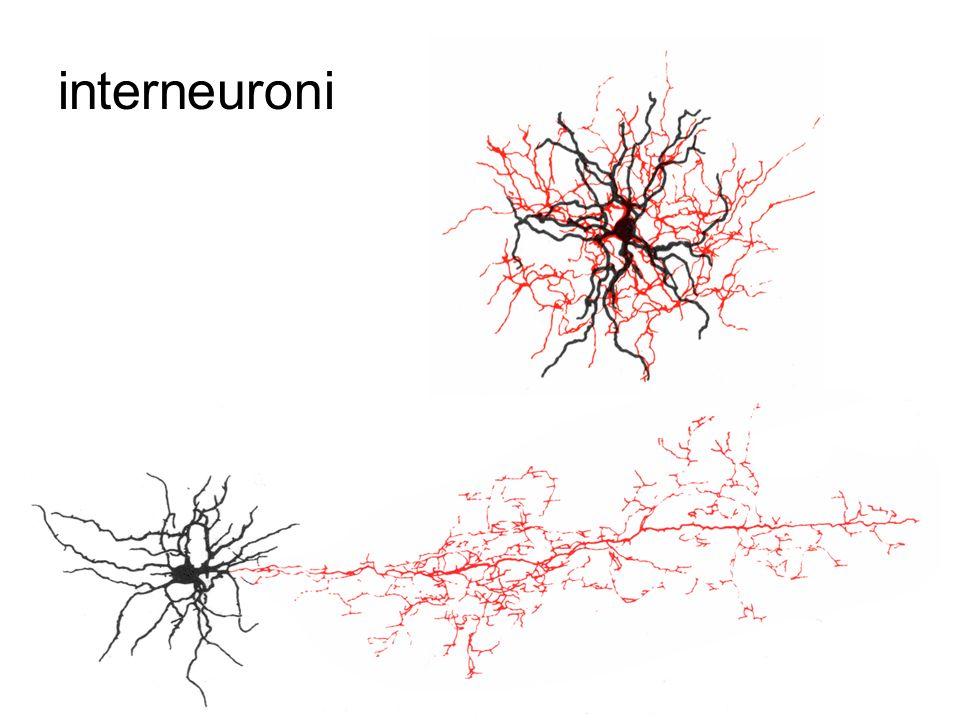 interneuroni