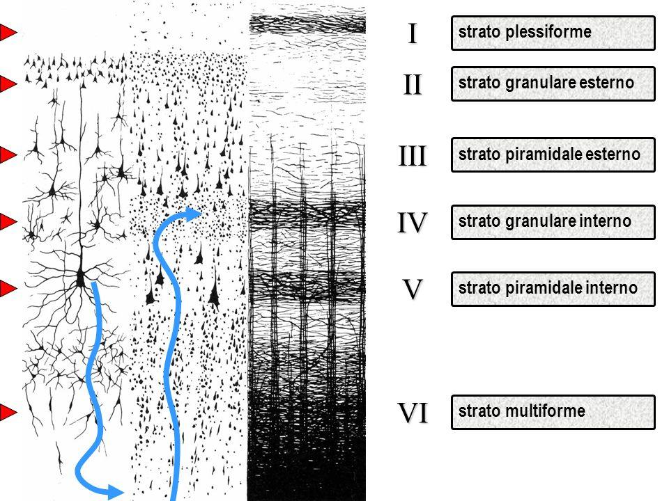 strato plessiformeI strato granulare esternoIII strato piramidale esternoIV strato granulare internoV strato piramidale internoVI strato multiformeII