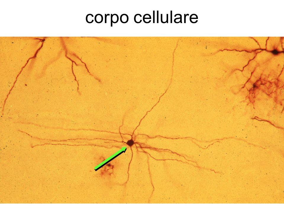 corpo cellulare