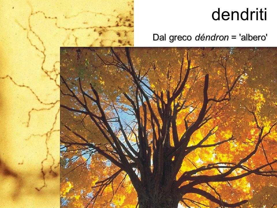 dendriti Dal greco déndron = 'albero'