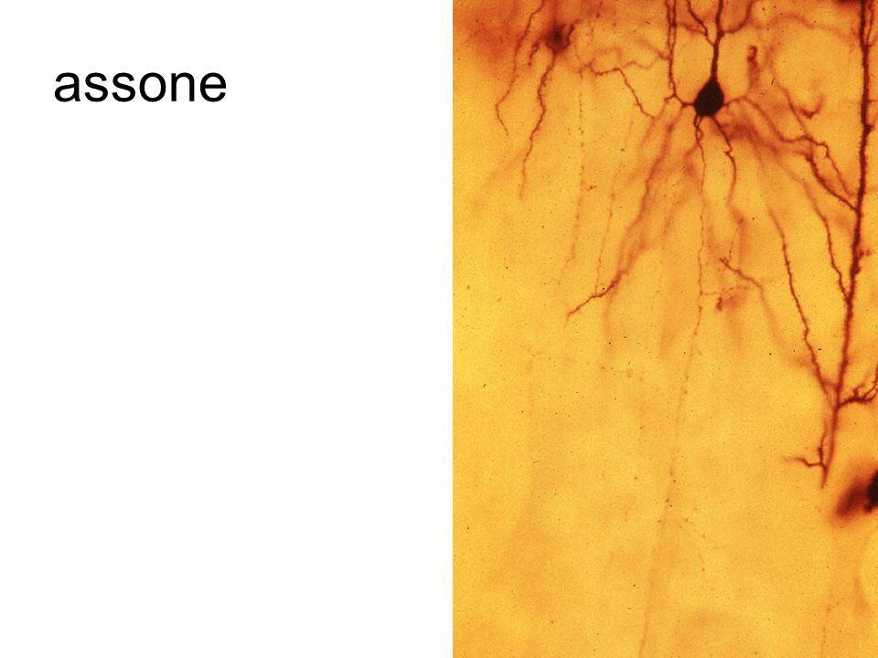 schema di neurone in camera lucida