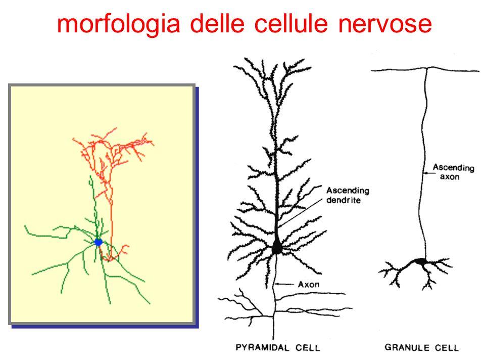 morfologia delle cellule nervose