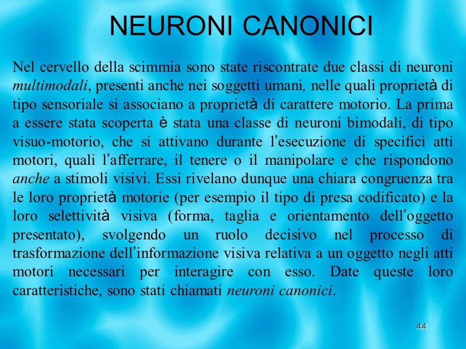 44 NEURONI CANONICI Nel cervello della scimmia sono state riscontrate due classi di neuroni multimodali, presenti anche nei soggetti umani, nelle qual