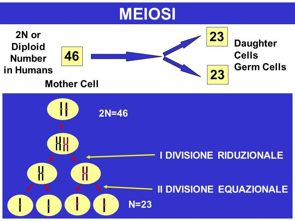 46 23 2N or Diploid Number in Humans Mother Cell Daughter Cells Germ Cells MEIOSI N 2N=46 N=23 II DIVISIONE EQUAZIONALE I DIVISIONE RIDUZIONALE