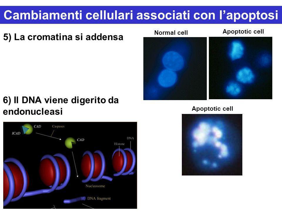 5) La cromatina si addensa 6) Il DNA viene digerito da endonucleasi Normal cell Apoptotic cell Cambiamenti cellulari associati con lapoptosi