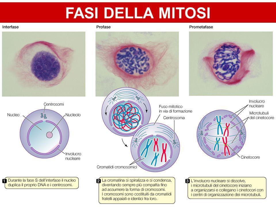 GAMETOGENESI Produzione dei gameti Spermatogenesi –Produzione degli spermatozoi Oogenesi –Produzione delle cellule uovo